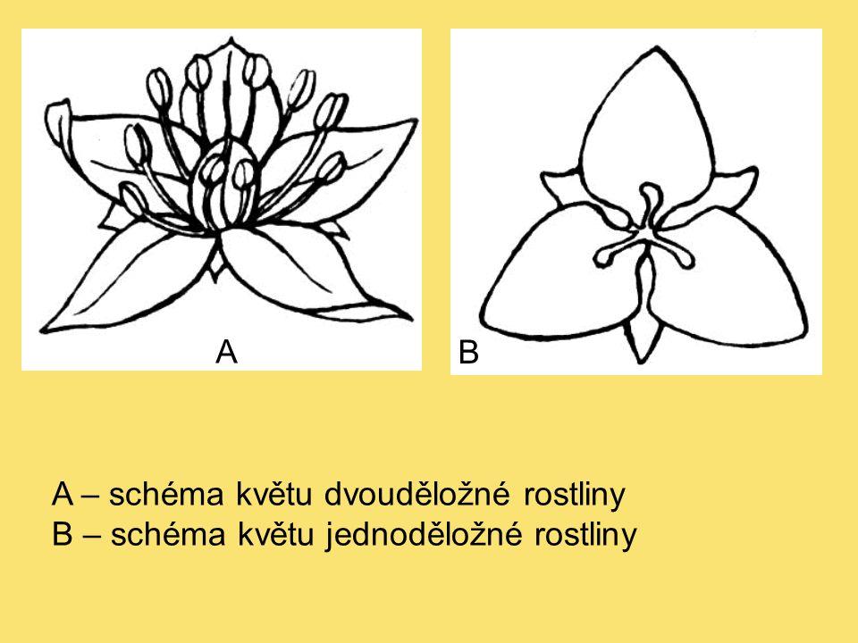 A – schéma květu dvouděložné rostliny B – schéma květu jednoděložné rostliny A B