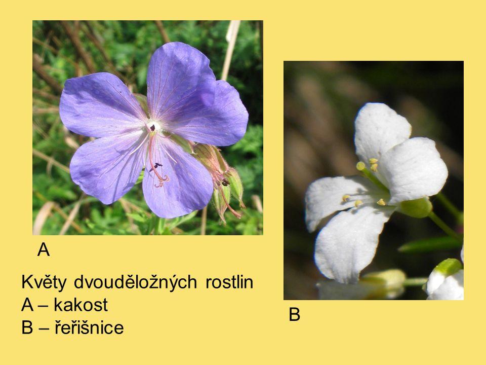 Květy dvouděložných rostlin A – kakost B – řeřišnice A B