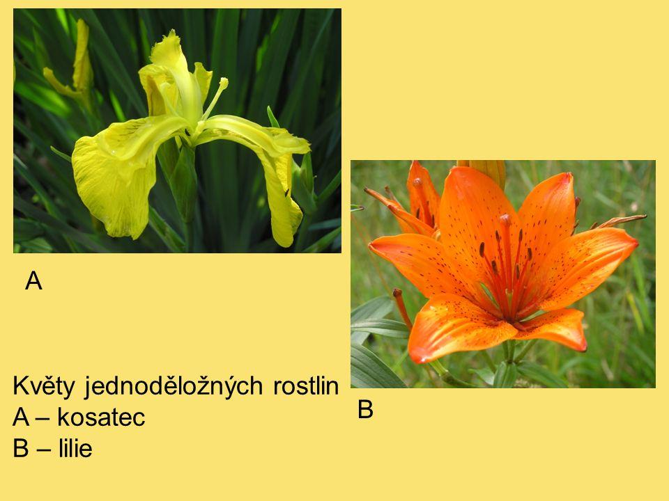 Květy jednoděložných rostlin A – kosatec B – lilie A B
