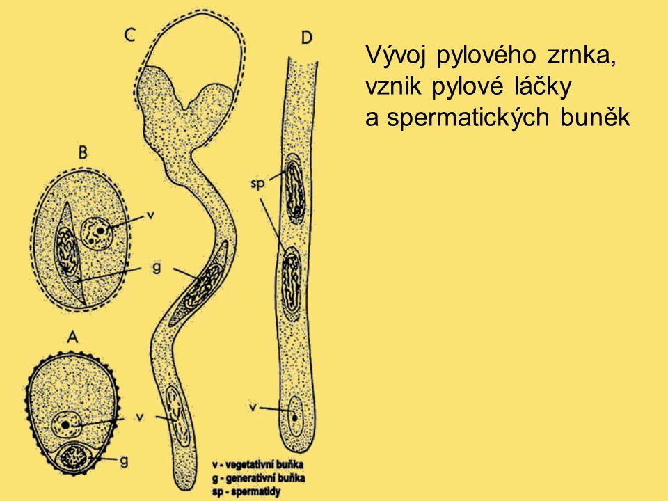 Vývoj pylového zrnka, vznik pylové láčky a spermatických buněk