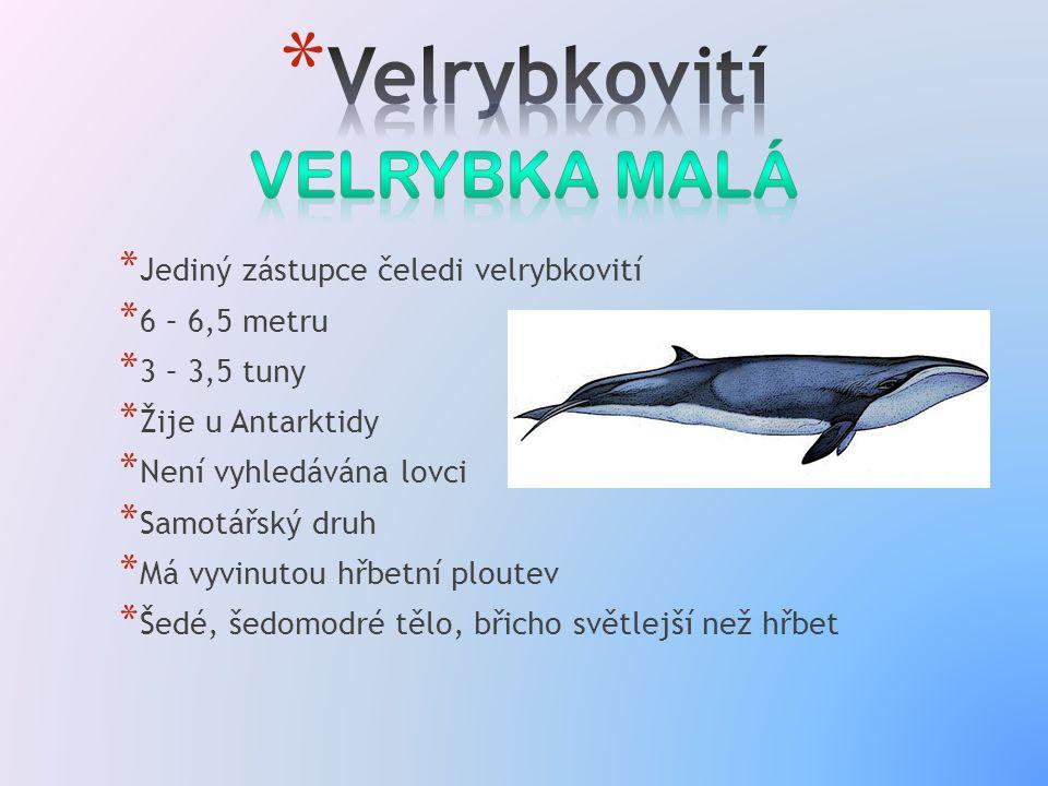 * Jediný zástupce čeledi velrybkovití * 6 – 6,5 metru * 3 – 3,5 tuny * Žije u Antarktidy * Není vyhledávána lovci * Samotářský druh * Má vyvinutou hřbetní ploutev * Šedé, šedomodré tělo, břicho světlejší než hřbet