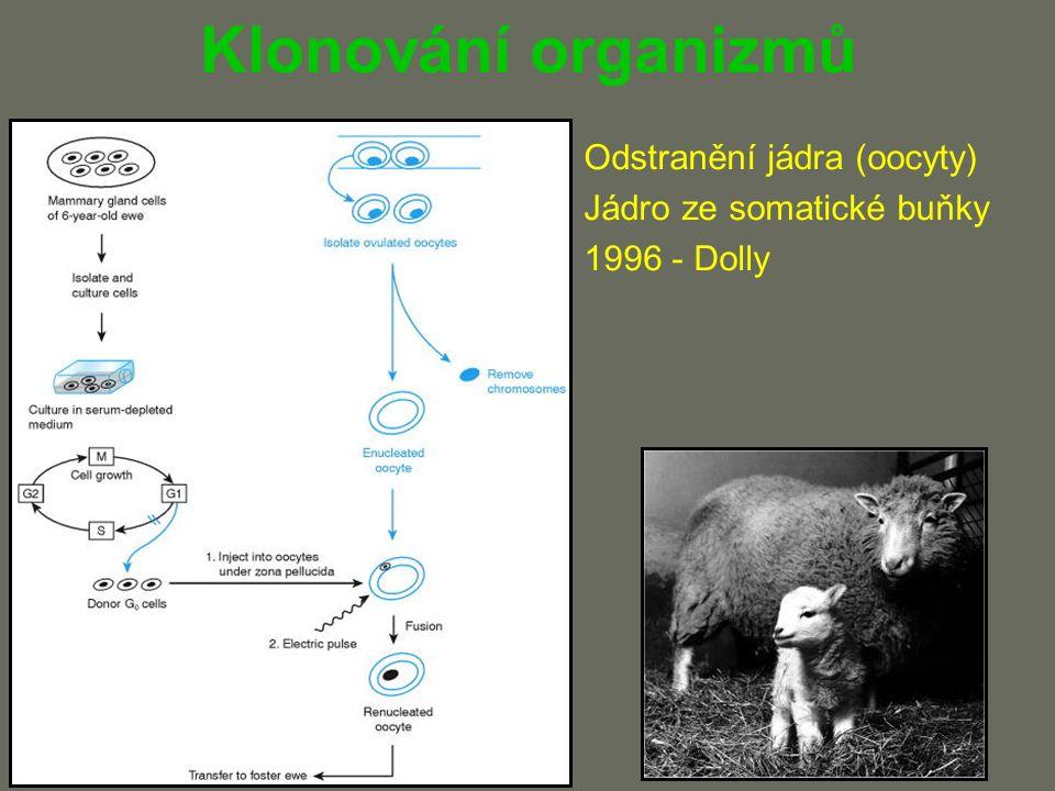Klonování organizmů Odstranění jádra (oocyty) Jádro ze somatické buňky 1996 - Dolly