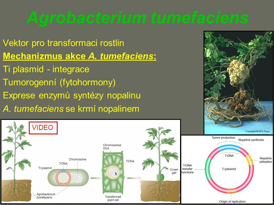Agrobacterium tumefaciens Vektor pro transformaci rostlin Mechanizmus akce A.