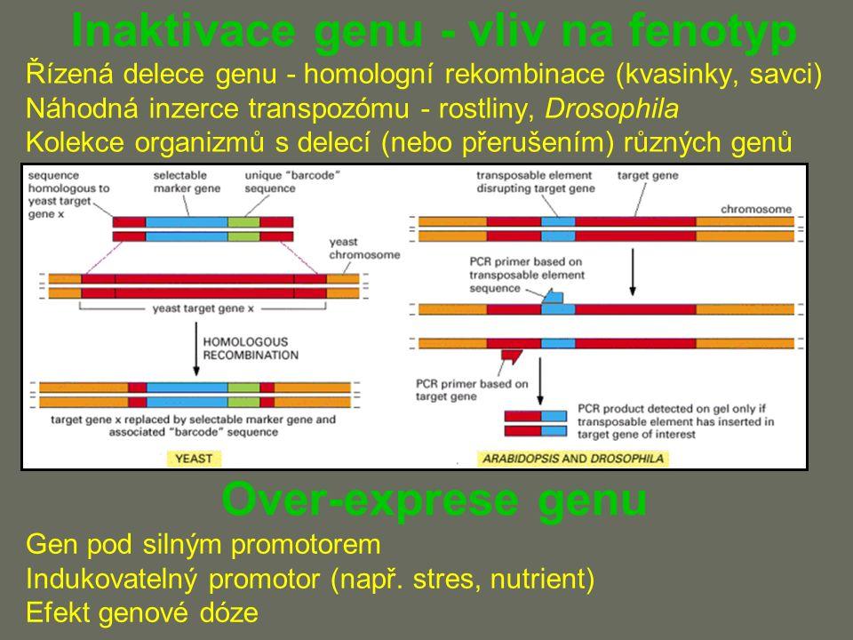 Inaktivace genu - vliv na fenotyp Řízená delece genu - homologní rekombinace (kvasinky, savci) Náhodná inzerce transpozómu - rostliny, Drosophila Kolekce organizmů s delecí (nebo přerušením) různých genů Over-exprese genu Gen pod silným promotorem Indukovatelný promotor (např.