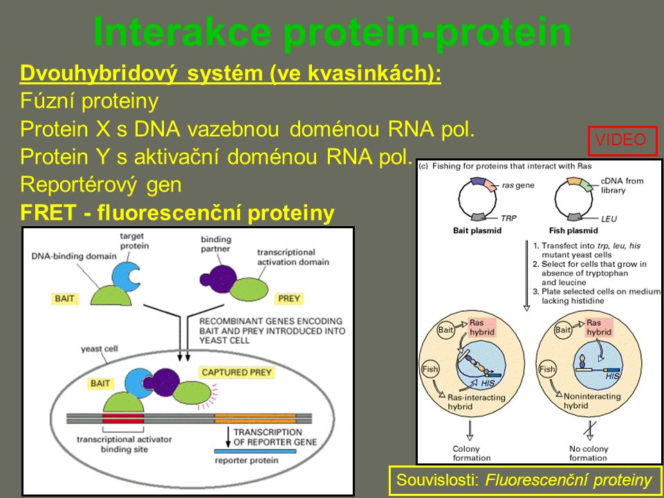 Interakce protein-protein Dvouhybridový systém (ve kvasinkách): Fúzní proteiny Protein X s DNA vazebnou doménou RNA pol.