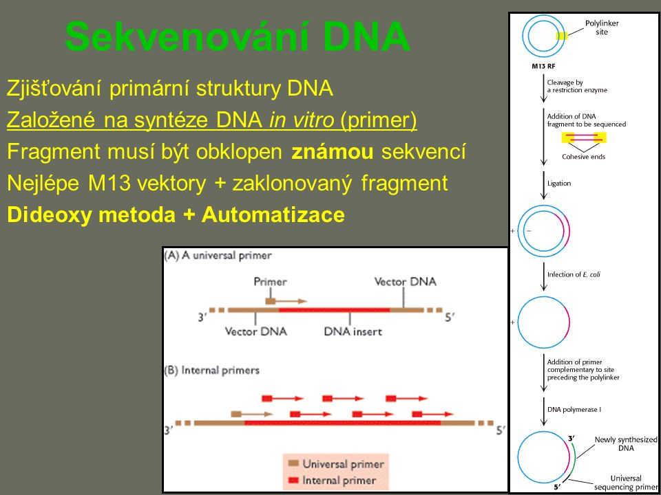 Sekvenování DNA Zjišťování primární struktury DNA Založené na syntéze DNA in vitro (primer) Fragment musí být obklopen známou sekvencí Nejlépe M13 vektory + zaklonovaný fragment Dideoxy metoda + Automatizace