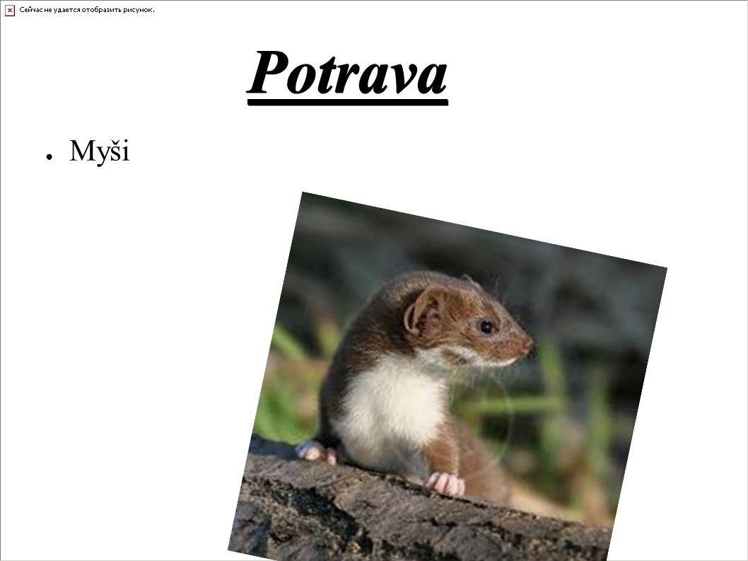 Potrava ● Myši