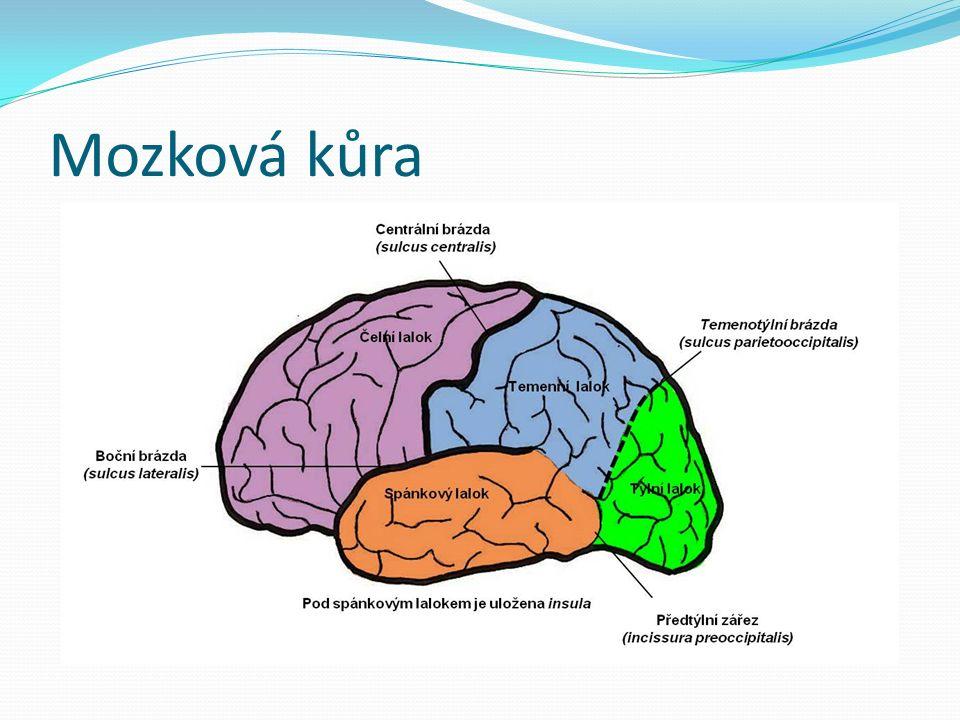 Mozková kůra