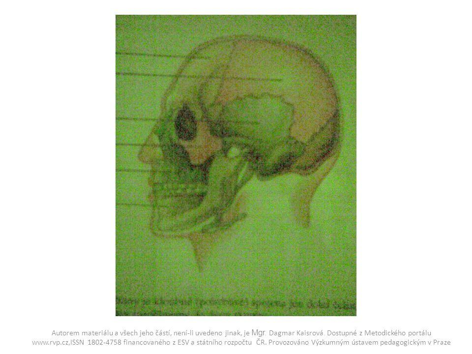 Lebka z boku 1.Kost čelní 2. Kost temenní 3. Kost spánková 4.