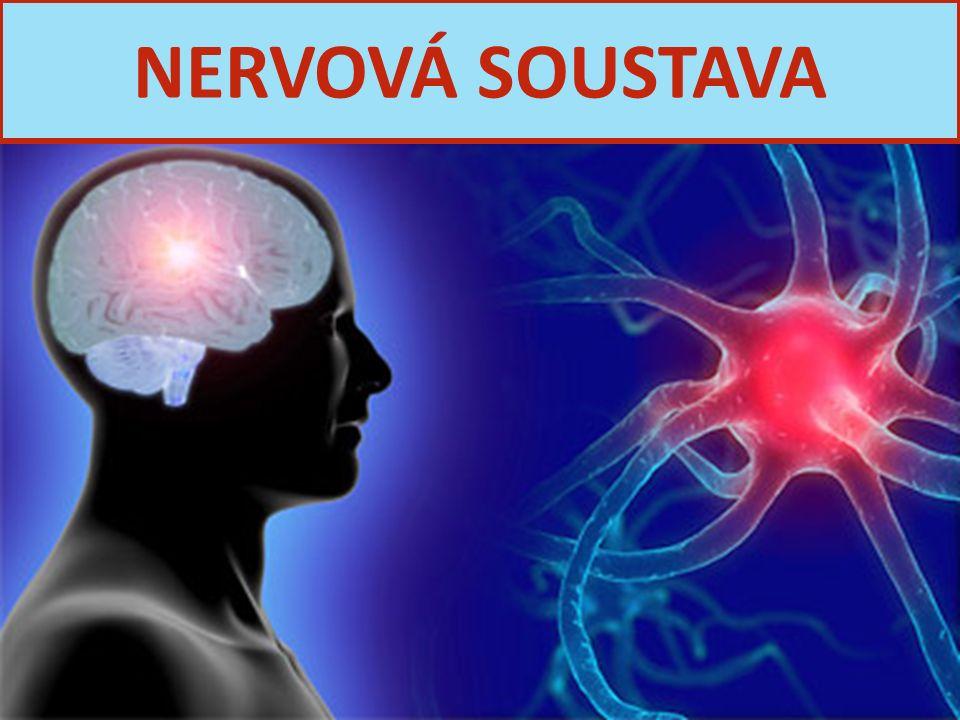 FUNKCE: Řídí činnost všech orgánů v těle Přijímá, zpracovává a reaguje na podněty 2 hl.