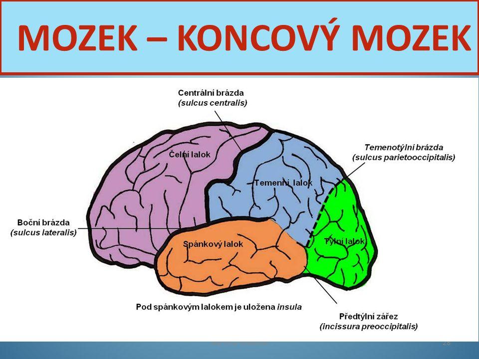 Nervová soustava28 MOZEK – KONCOVÝ MOZEK