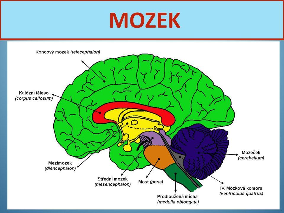 Nervová soustava29 MOZEK