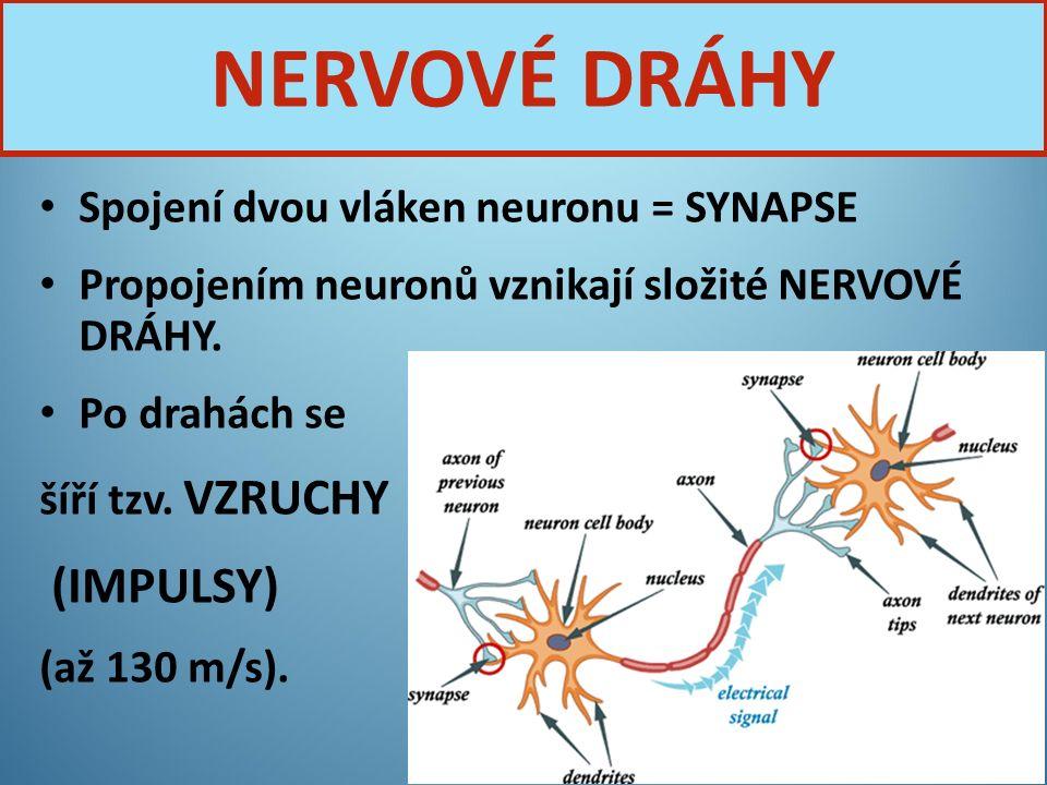 Spojení dvou vláken neuronu = SYNAPSE Propojením neuronů vznikají složité NERVOVÉ DRÁHY. Po drahách se šíří tzv. VZRUCHY (IMPULSY) (až 130 m/s). Nervo