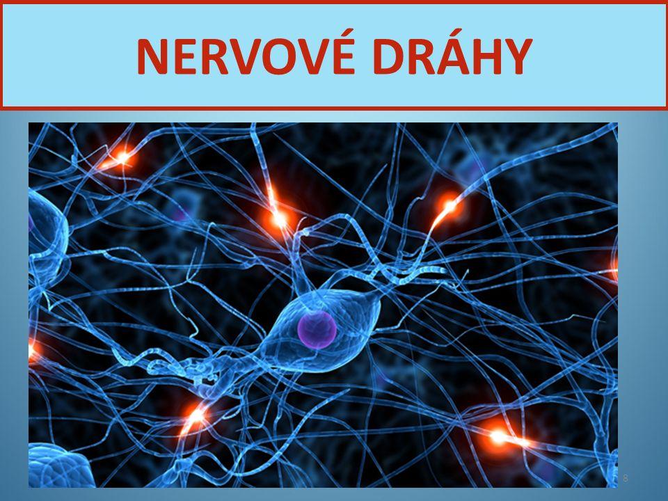 Nervová soustava8 NERVOVÉ DRÁHY