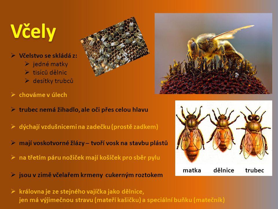  Včelstvo se skládá z:  jedné matky  tisíců dělnic  desítky trubců  chováme v úlech  královna je ze stejného vajíčka jako dělnice, jen má výjimečnou stravu (mateří kašičku) a speciální buňku (matečník)  trubec nemá žihadlo, ale oči přes celou hlavu  dýchají vzdušnicemi na zadečku (prostě zadkem)  na třetím páru nožiček mají košíček pro sběr pylu  mají voskotvorné žlázy – tvoří vosk na stavbu plástů  jsou v zimě včelařem krmeny cukerným roztokem matka dělnice trubec