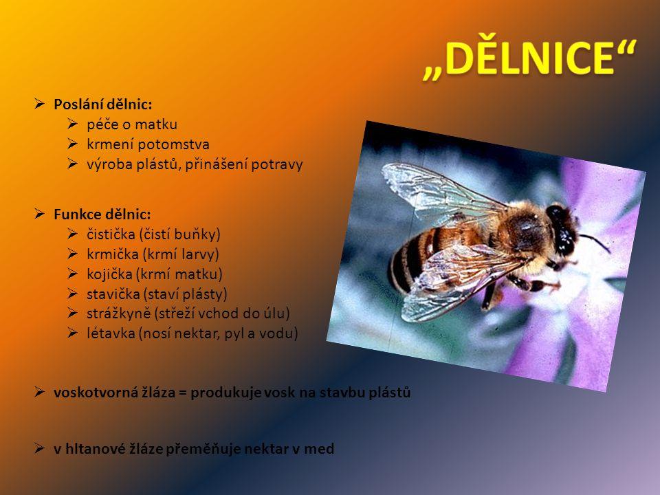  v hltanové žláze přeměňuje nektar v med  voskotvorná žláza = produkuje vosk na stavbu plástů  Poslání dělnic:  péče o matku  krmení potomstva  výroba plástů, přinášení potravy  Funkce dělnic:  čistička (čistí buňky)  krmička (krmí larvy)  kojička (krmí matku)  stavička (staví plásty)  strážkyně (střeží vchod do úlu)  létavka (nosí nektar, pyl a vodu)