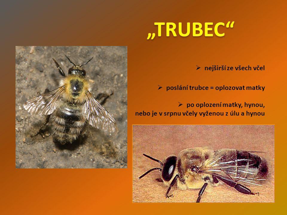  nejširší ze všech včel  poslání trubce = oplozovat matky  po oplození matky, hynou, nebo je v srpnu včely vyženou z úlu a hynou