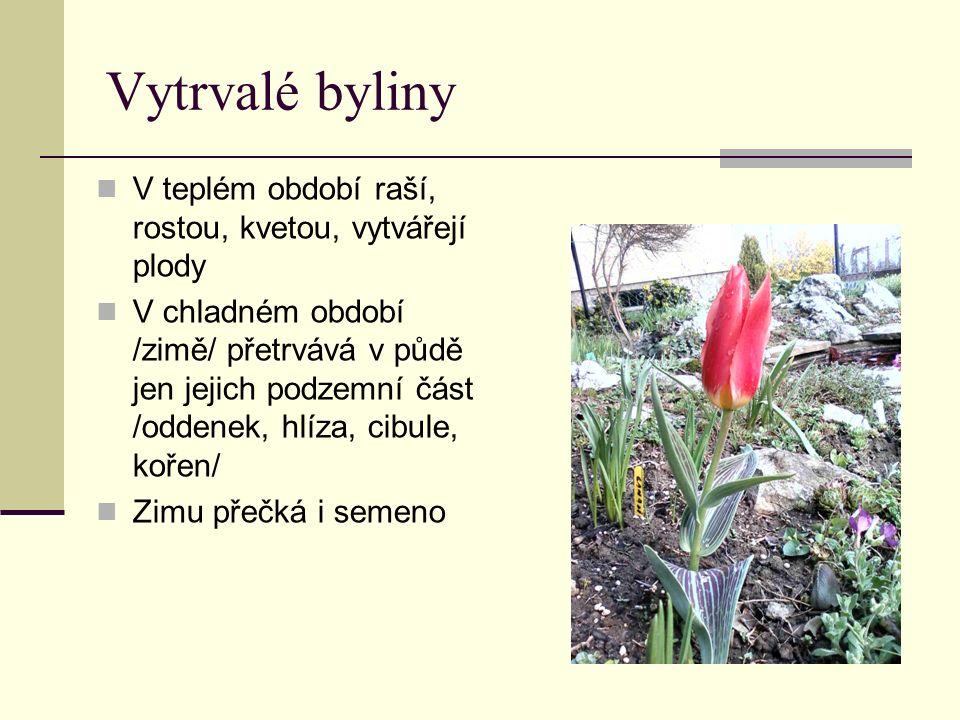 Vytrvalé byliny V teplém období raší, rostou, kvetou, vytvářejí plody V chladném období /zimě/ přetrvává v půdě jen jejich podzemní část /oddenek, hlíza, cibule, kořen/ Zimu přečká i semeno