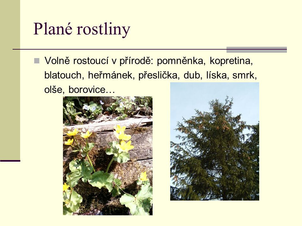 Plané rostliny Volně rostoucí v přírodě: pomněnka, kopretina, blatouch, heřmánek, přeslička, dub, líska, smrk, olše, borovice…
