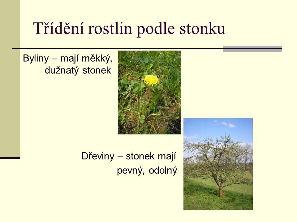 Třídění rostlin podle stonku Byliny – mají měkký, dužnatý stonek Dřeviny – stonek mají pevný, odolný