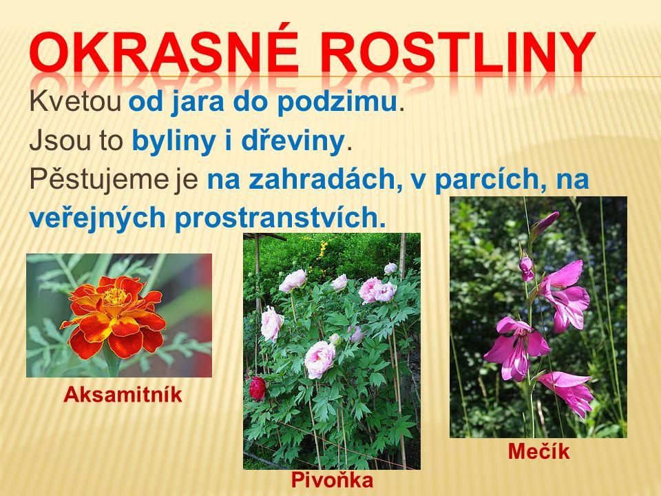 Kvetou od jara do podzimu. Jsou to byliny i dřeviny. Pěstujeme je na zahradách, v parcích, na veřejných prostranstvích. Aksamitník Pivoňka Mečík