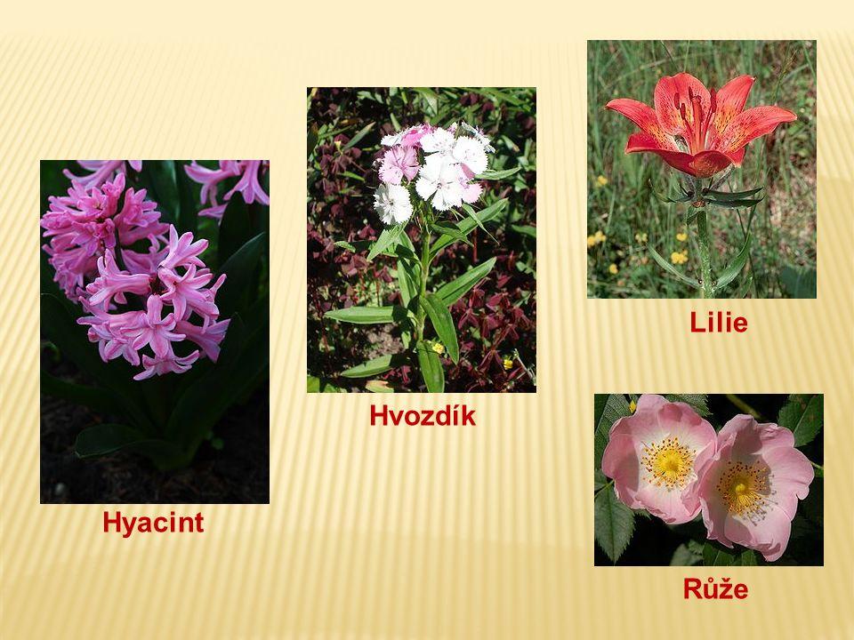 Hyacint Hvozdík Lilie Růže