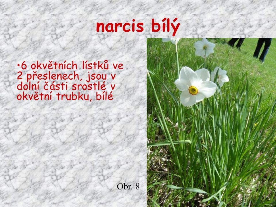narcis bílý 6 okvětních lístků ve 2 přeslenech, jsou v dolní části srostlé v okvětní trubku, bílé Obr.