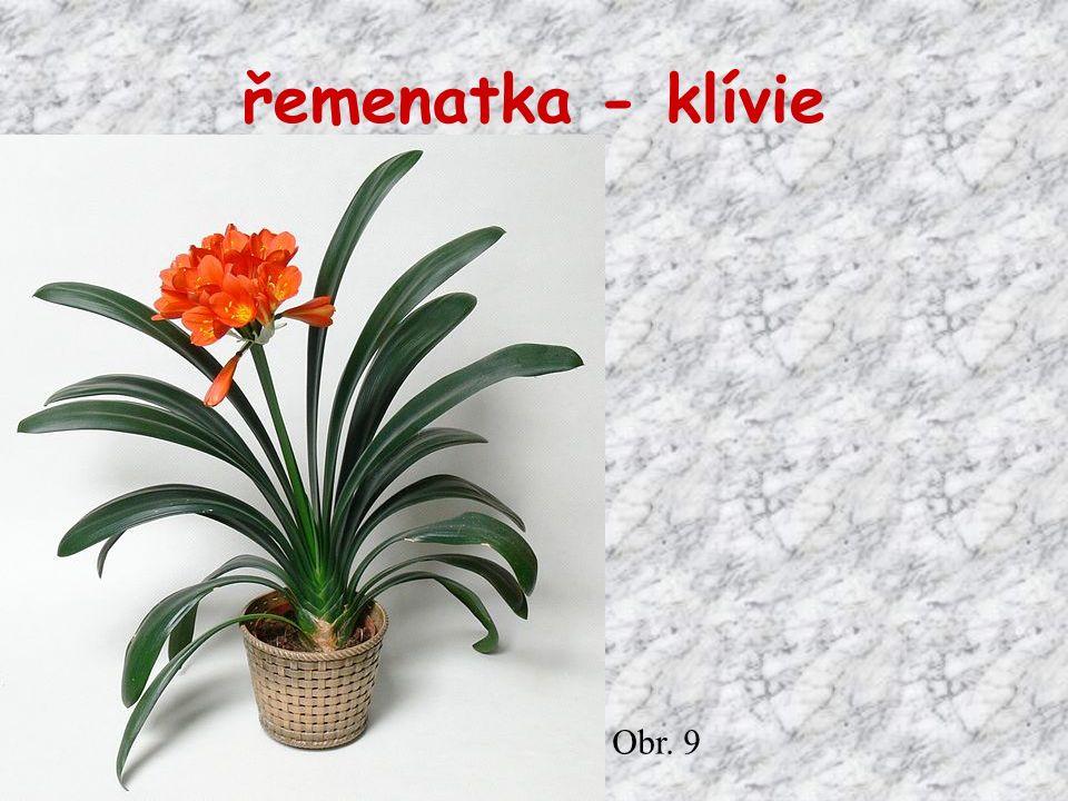 řemenatka - klívie Obr. 9