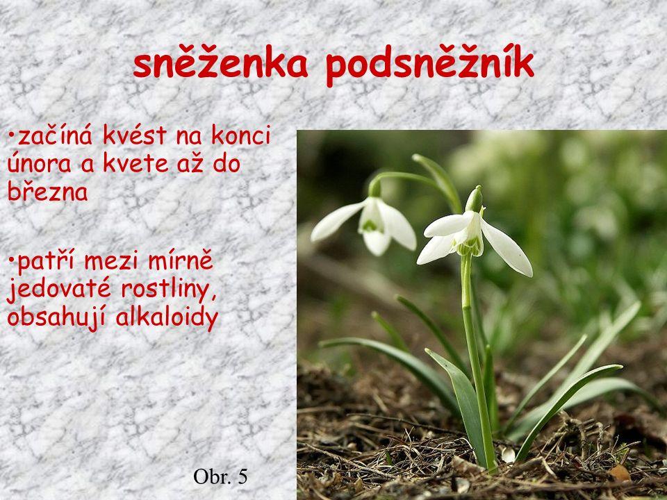 sněženka podsněžník začíná kvést na konci února a kvete až do března patří mezi mírně jedovaté rostliny, obsahují alkaloidy Obr.