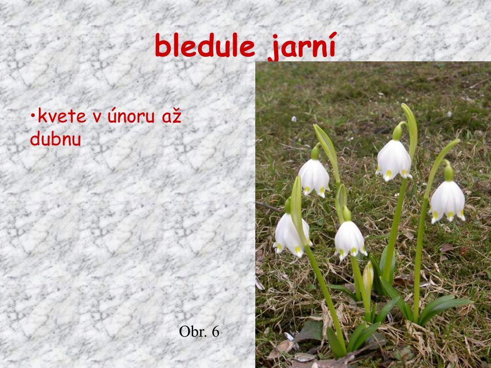bledule jarní kvete v únoru až dubnu Obr. 6