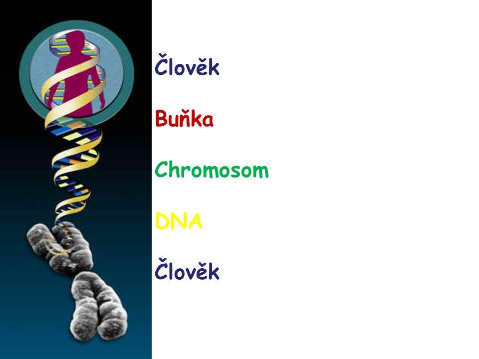 Člověk Buňka Chromosom DNA Člověk