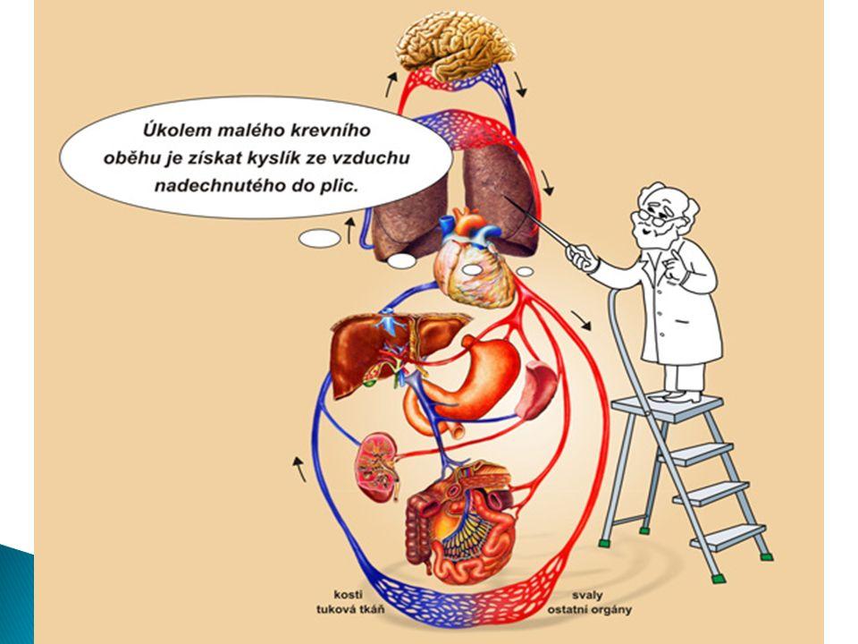  je tvořena ◦ srdcem  pohání krev v oběhu ◦ krevními cévami  rozvádí krev po těle