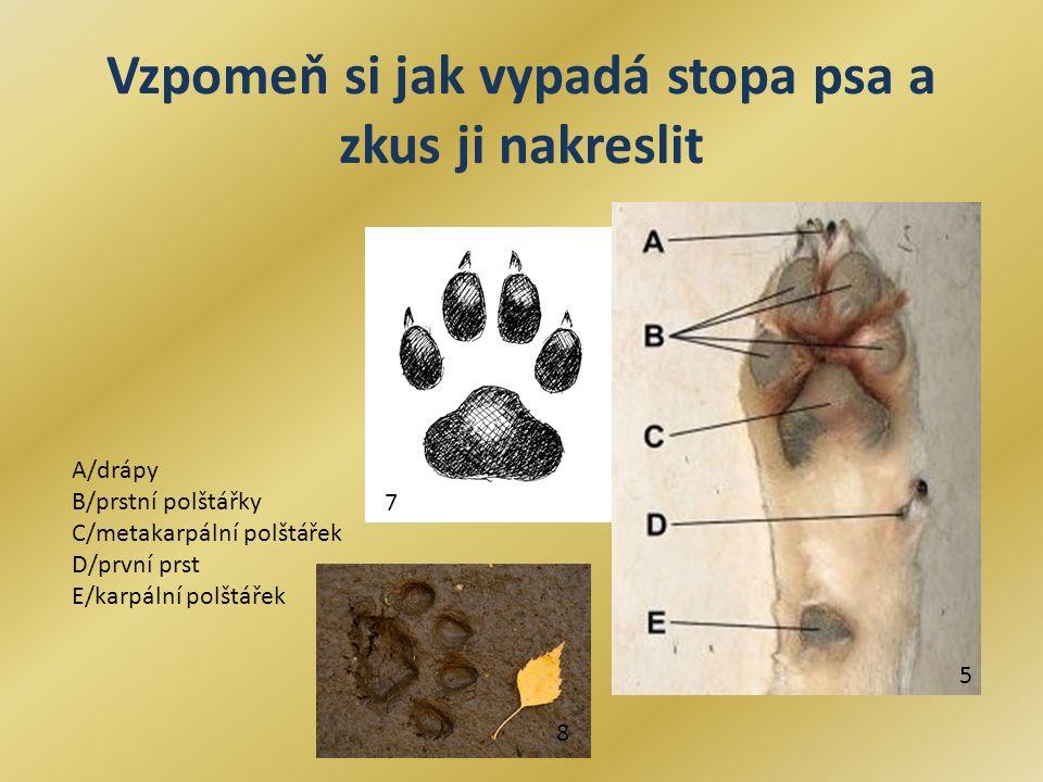 Vzpomeň si jak vypadá stopa psa a zkus ji nakreslit A/drápy B/prstní polštářky C/metakarpální polštářek D/první prst E/karpální polštářek 5 7 8