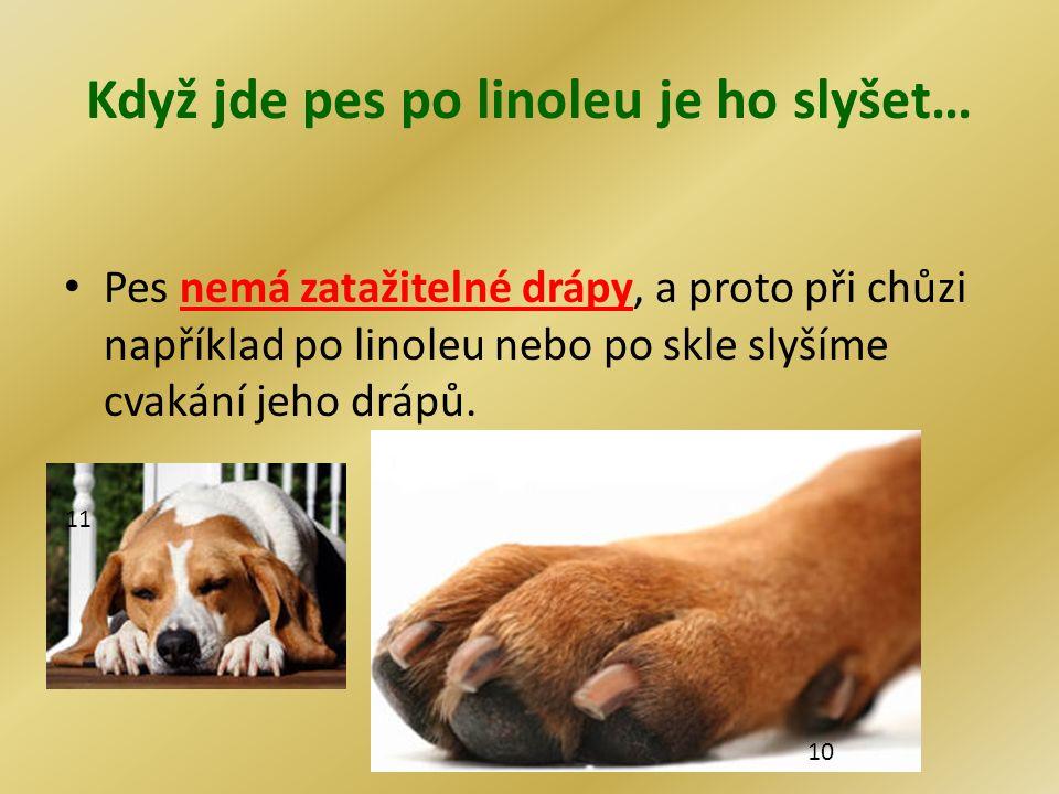 Když jde pes po linoleu je ho slyšet… Pes nemá zatažitelné drápy, a proto při chůzi například po linoleu nebo po skle slyšíme cvakání jeho drápů. 10 1