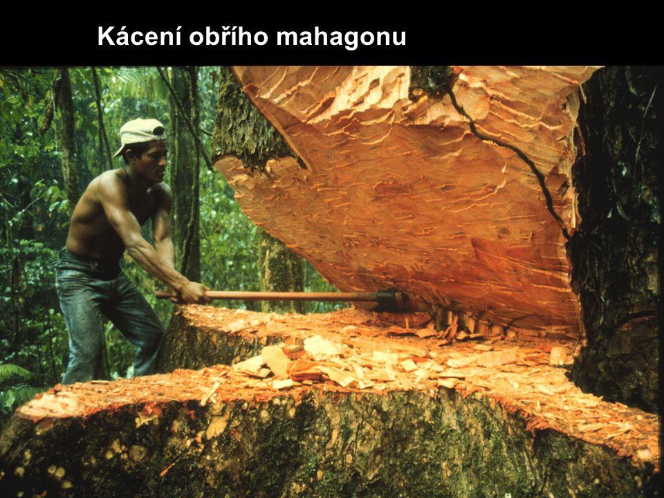 Kácení obřího mahagonu