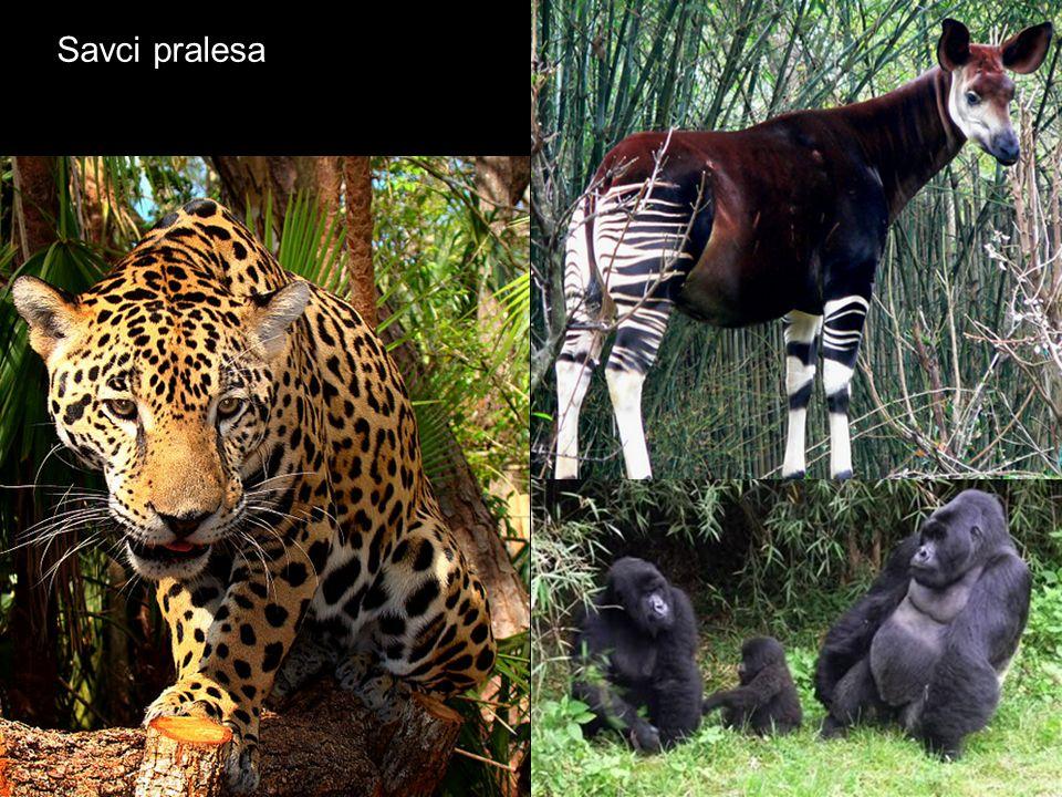 Savci pralesa