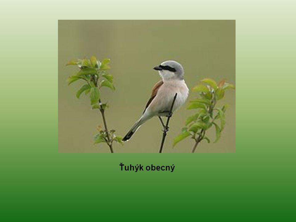 Ťuhýk šedý U nás přezimuje a místy i hnízdí Obývá otevřenější místa s křovinami Kořist často napichuje na trny (hmyz, myši, ptáky, kobylky, ještěrky, slepýše)