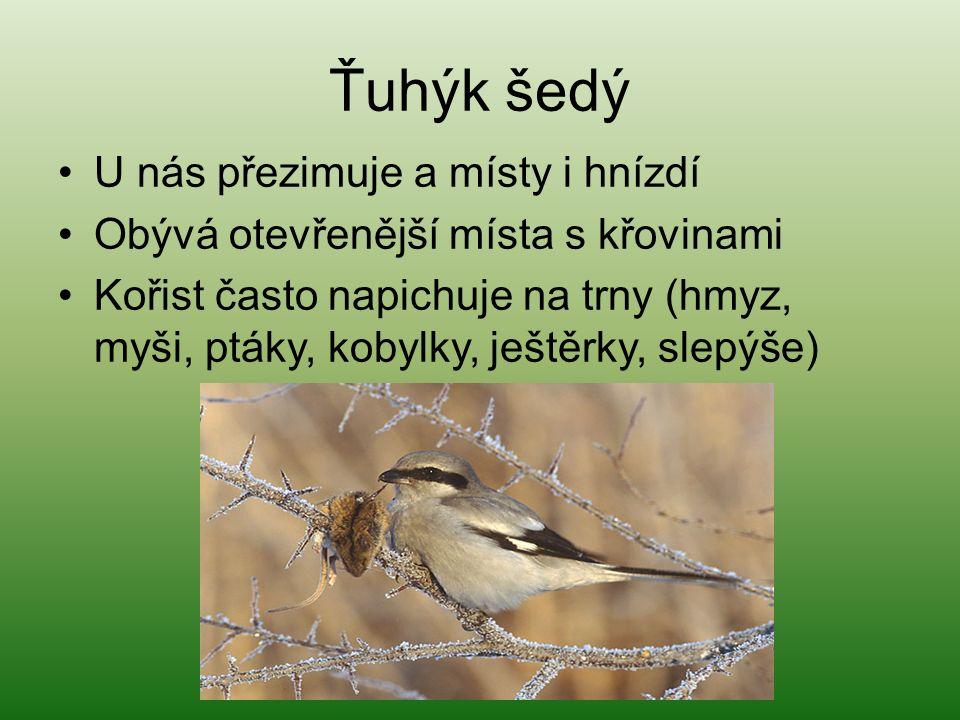 Zvonek zelený U nás stálý Živí se semeny plevele a bobulemi Hnízdí až dvakrát do roka Zvonkové se spojují do skupin a potulují se