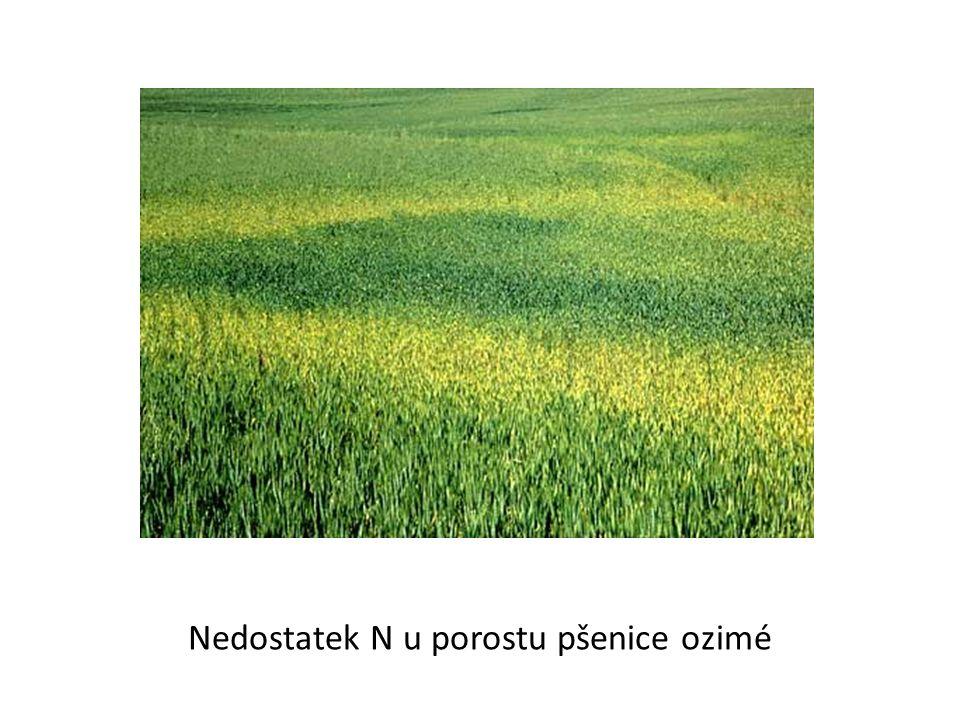 Nedostatek N u porostu pšenice ozimé