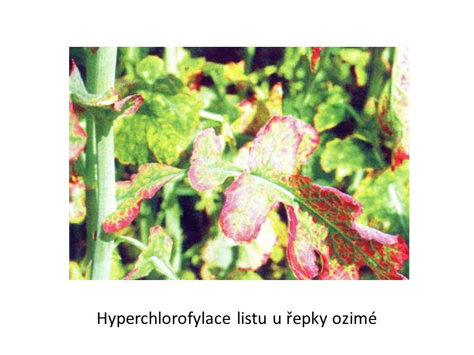 Hyperchlorofylace listu u řepky ozimé