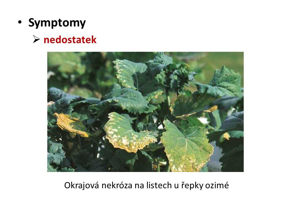 Symptomy  nedostatek Okrajová nekróza na listech u řepky ozimé