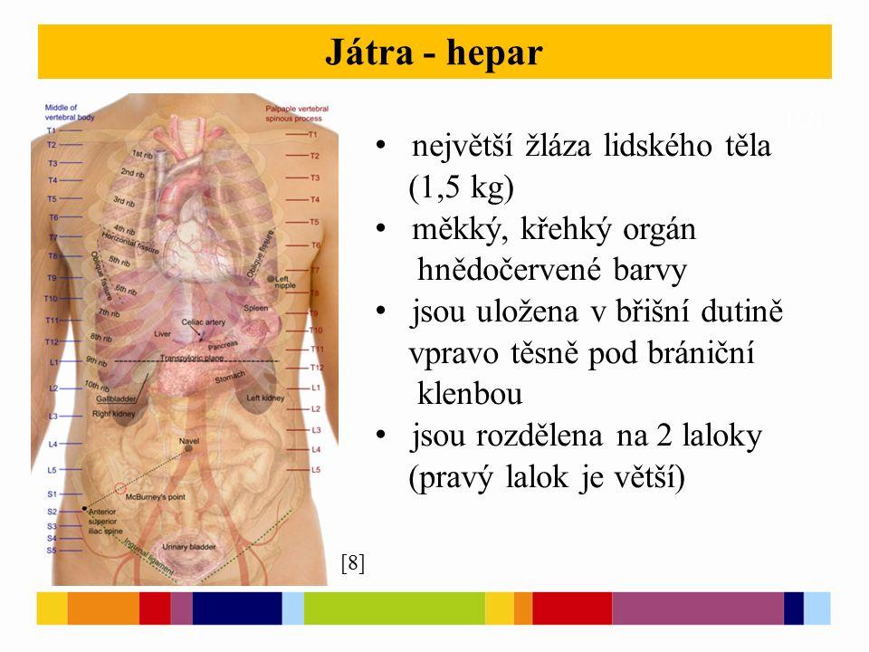 [12] Játra - hepar největší žláza lidského těla (1,5 kg) měkký, křehký orgán hnědočervené barvy jsou uložena v břišní dutině vpravo těsně pod brániční klenbou jsou rozdělena na 2 laloky (pravý lalok je větší) [8]
