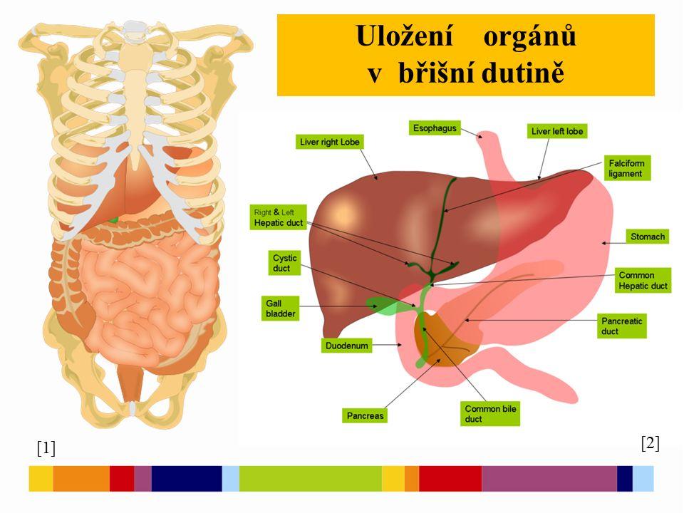 [1] Uložení orgánů v břišní dutině [2]