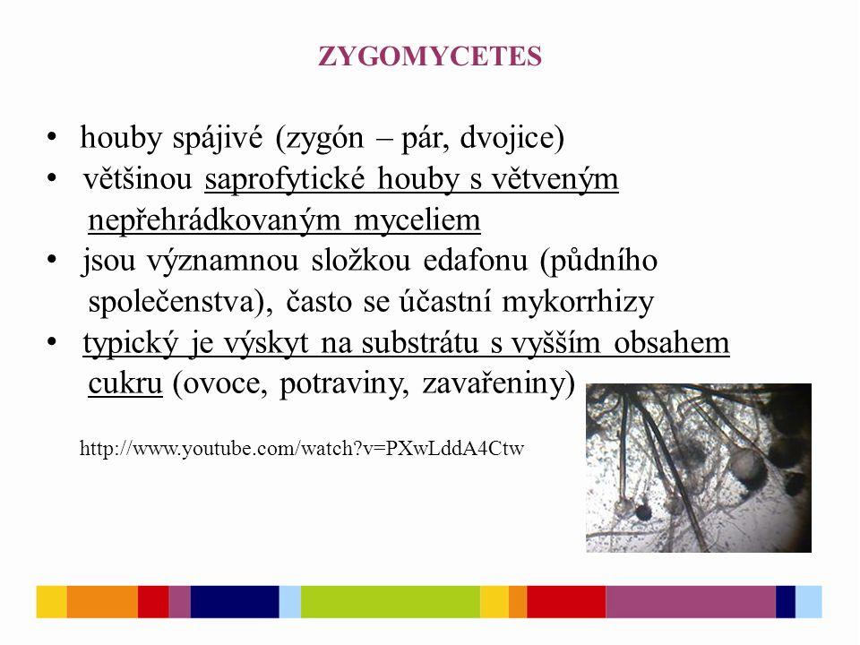 ZYGOMYCETES http://www.youtube.com/watch v=PXwLddA4Ctw houby spájivé (zygón – pár, dvojice) většinou saprofytické houby s větveným nepřehrádkovaným myceliem jsou významnou složkou edafonu (půdního společenstva), často se účastní mykorrhizy typický je výskyt na substrátu s vyšším obsahem cukru (ovoce, potraviny, zavařeniny)