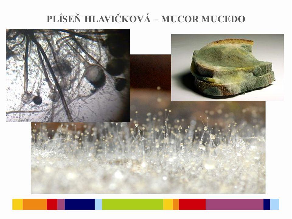 ASCOMYCETES houby vřeckaté, druhově nejpočetnější skupina hub převážně mnohobuněčné houby s bohatě větveným přehrádkovaným myceliem přehrádky hyf mají otvor umožňující přechod cytoplazmy a jádra tvoří specializovaná sporangia, označovaná jako vřecka (vřecko – ascus) Je počet výtrusů ve vřecku charakteristickým znakem?