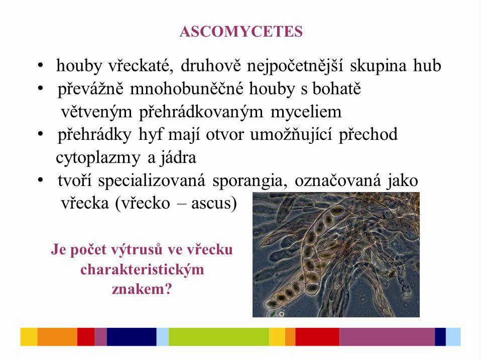 ASCOMYCETES houby vřeckaté, druhově nejpočetnější skupina hub převážně mnohobuněčné houby s bohatě větveným přehrádkovaným myceliem přehrádky hyf mají otvor umožňující přechod cytoplazmy a jádra tvoří specializovaná sporangia, označovaná jako vřecka (vřecko – ascus) Je počet výtrusů ve vřecku charakteristickým znakem