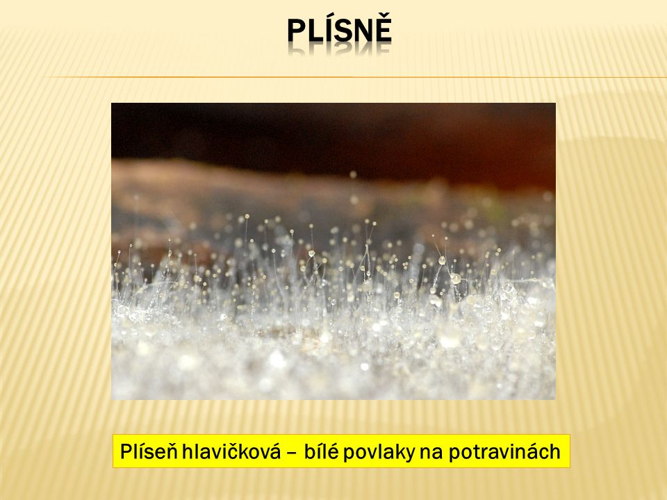 Plíseň hlavičková – bílé povlaky na potravinách