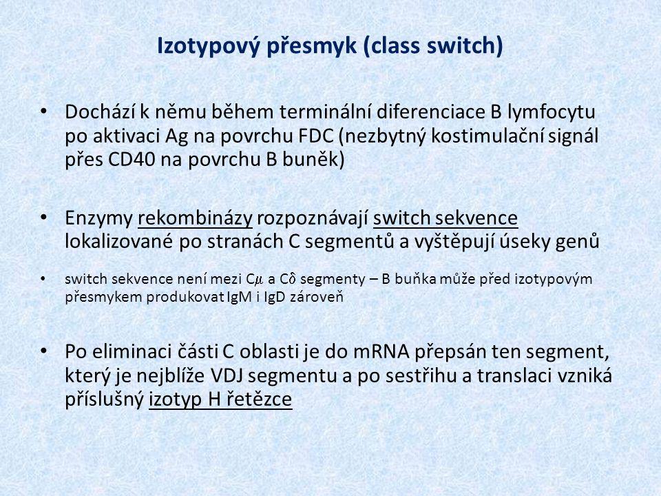 Izotypový přesmyk (class switch) Dochází k němu během terminální diferenciace B lymfocytu po aktivaci Ag na povrchu FDC (nezbytný kostimulační signál přes CD40 na povrchu B buněk) Enzymy rekombinázy rozpoznávají switch sekvence lokalizované po stranách C segmentů a vyštěpují úseky genů switch sekvence není mezi C  a C  segmenty – B buňka může před izotypovým přesmykem produkovat IgM i IgD zároveň Po eliminaci části C oblasti je do mRNA přepsán ten segment, který je nejblíže VDJ segmentu a po sestřihu a translaci vzniká příslušný izotyp H řetězce