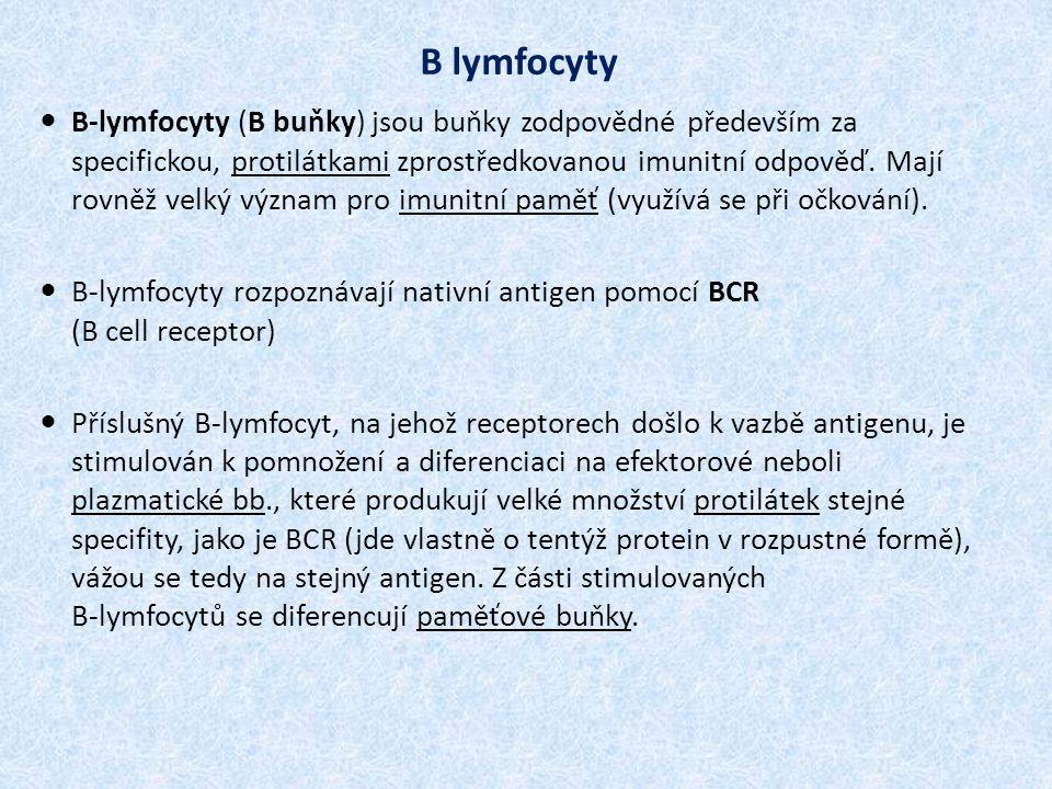 B-lymfocyty (B buňky) jsou buňky zodpovědné především za specifickou, protilátkami zprostředkovanou imunitní odpověď.
