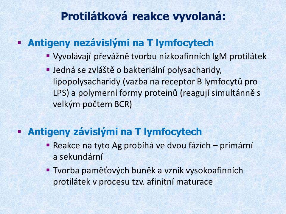 Protilátková reakce vyvolaná:  Antigeny nezávislými na T lymfocytech  Vyvolávají převážně tvorbu nízkoafinních IgM protilátek  Jedná se zvláště o bakteriální polysacharidy, lipopolysacharidy (vazba na receptor B lymfocytů pro LPS) a polymerní formy proteinů (reagují simultánně s velkým počtem BCR)  Antigeny závislými na T lymfocytech  Reakce na tyto Ag probíhá ve dvou fázích – primární a sekundární  Tvorba paměťových buněk a vznik vysokoafinních protilátek v procesu tzv.